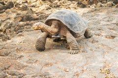 巨型乌龟在加拉帕戈斯 库存照片
