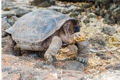 巨型乌龟在加拉帕戈斯 免版税库存图片
