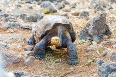 巨型乌龟在达尔文中心,加拉帕戈斯 库存照片