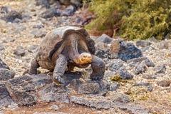 巨型乌龟在达尔文中心,加拉帕戈斯 免版税库存图片