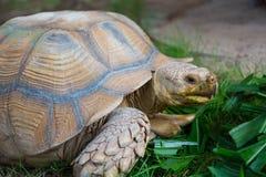 巨型乌龟 免版税库存照片