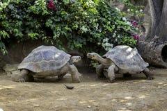 巨型乌龟 库存图片