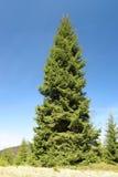 巨型云杉的结构树 库存照片