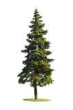 巨型云杉的结构树 库存图片