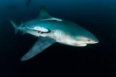 巨型公牛鲨鱼 免版税库存照片