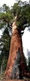 巨型北美灰熊全景垂直 免版税库存照片