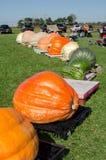 巨型南瓜生长竞争 库存照片