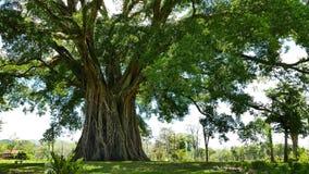 巨型印度榕树Balete树 股票视频