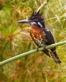 巨型印象深刻的翠鸟 免版税库存照片