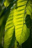 巨型叶子在南佛罗里达 库存图片