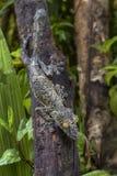巨型叶子尾巴壁虎- Uroplatus fimbriatus 免版税库存照片