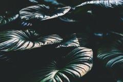 巨型叶子的接近的看法在迈阿密植物园里 库存图片