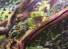 巨型叶子青蛙 免版税库存图片