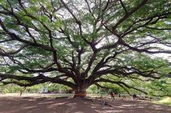 巨型含羞草雨豆树& x28; 旅行的place& x29;在北碧provin 免版税库存照片