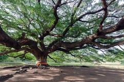 巨型含羞草雨豆树& x28; 旅行的place& x29;在北碧provin 库存图片