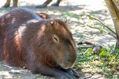 巨型啮齿目动物在乌拉圭国立公园叫capibara 免版税库存图片