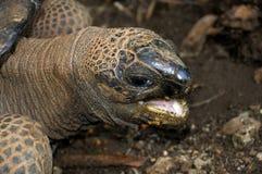 巨型土地草龟 库存图片
