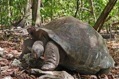 巨型塞舌尔群岛草龟 免版税库存照片
