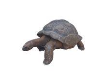 巨型塞舌尔群岛草龟 免版税库存图片