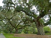 巨型小橡树 免版税库存照片