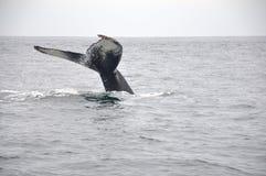 巨型尾标鲸鱼 库存图片