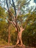 巨型巨大的老树在一个热带森林里 免版税库存照片