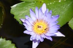 巨型开花的荷花,壮观地美丽 免版税图库摄影