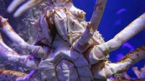巨型日本蜘蛛蟹 股票录像