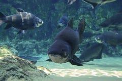 巨型暹罗鲤鱼鱼学校  库存图片