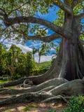 巨型木棉树 库存图片