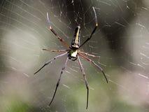 巨型木蜘蛛 免版税库存图片