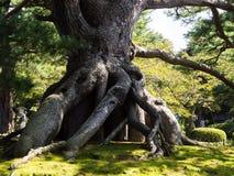 巨型杉树在Kenrokuen日本人庭院里 免版税库存图片
