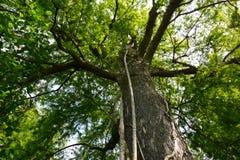巨型柏树用扼杀者无花果 免版税库存图片