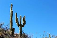 巨型柱仙人掌仙人掌在巨人柱国家公园 免版税图库摄影