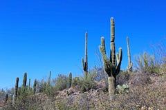 巨型柱仙人掌仙人掌在巨人柱国家公园 图库摄影