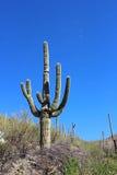 巨型柱仙人掌仙人掌在巨人柱国家公园 免版税库存图片