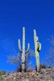巨型柱仙人掌仙人掌在巨人柱国家公园 库存图片