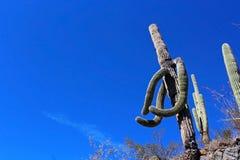 巨型柱仙人掌仙人掌在巨人柱国家公园 免版税库存照片