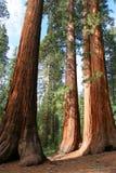 巨型树丛mariposa美国加州红杉 免版税库存照片