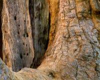 巨型树基本的纹理背景 免版税图库摄影