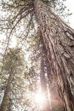 巨型树 库存照片