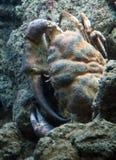 巨型棕色螃蟹在海洋,甲壳动物的盐水 免版税库存照片