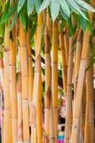 巨型棘手的黄色竹子 免版税库存照片