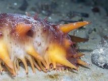 巨型橙色海参 免版税库存照片