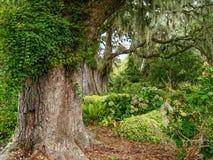 巨型橡木在庭院里 库存图片