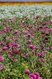巨型毛茛属花卉生长在一个领域在一好日子 免版税库存图片