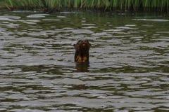 巨型河中水獭游泳在秘鲁雨林湖 免版税库存照片