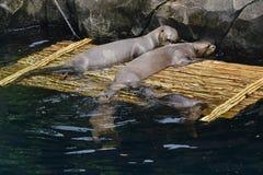 巨型河中水獭一个完全愉快的家庭在动物园里 免版税库存图片