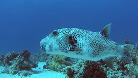 巨型河豚在珊瑚礁的热带海 股票视频