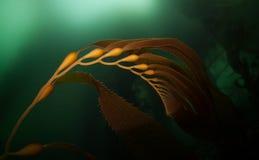 巨型海带1 免版税库存照片